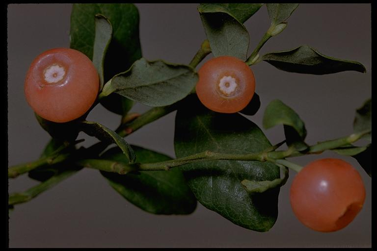 Image of red huckleberry
