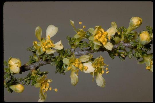 Image of <i>Purshia stansburyana</i> (Torr.) Henrickson