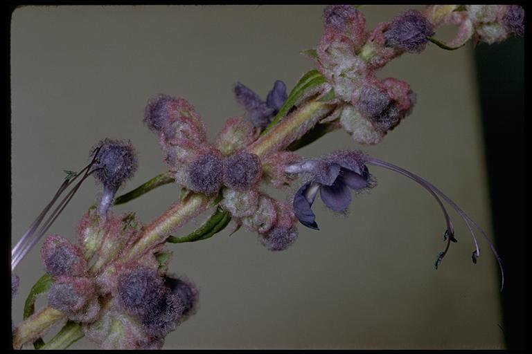 Image of woolly bluecurls