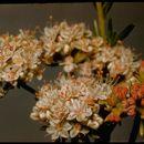 Image of California Buckwheat