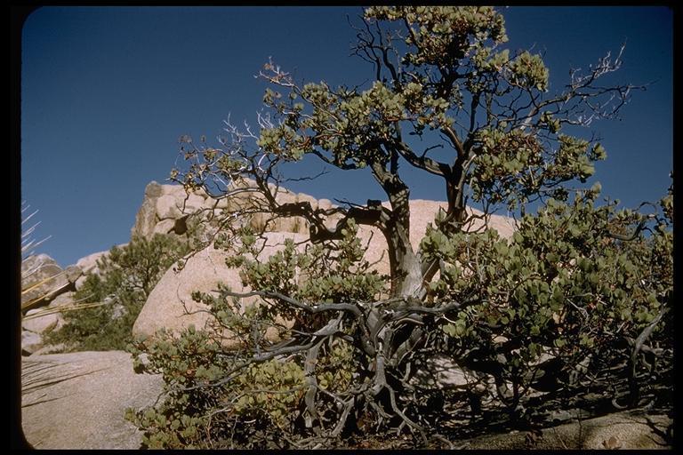 Image of bigberry manzanita