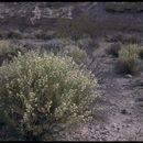 Image of <i>Ambrosia salsola</i> (Torr. & A. Gray) Strother & B. G. Baldwin