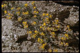 Image of <i>Acmispon argophyllus</i> (A. Gray) Brouillet