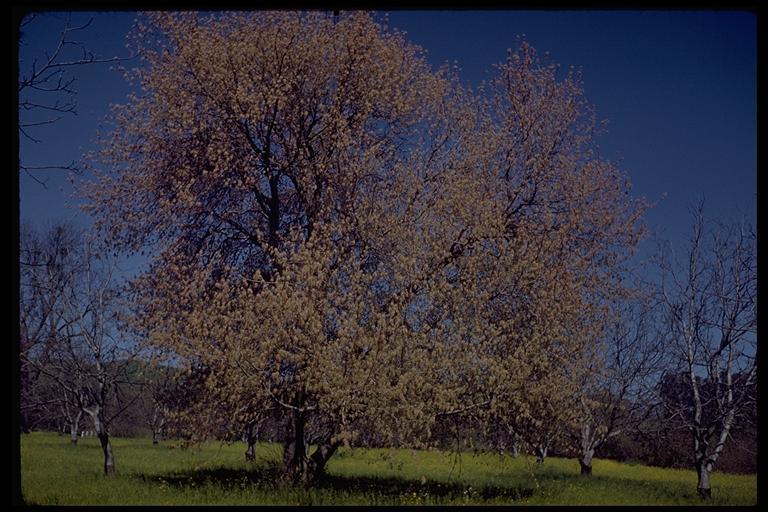 Image of Manitoba Maple