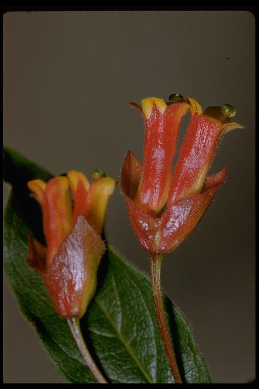 Image of twinberry honeysuckle