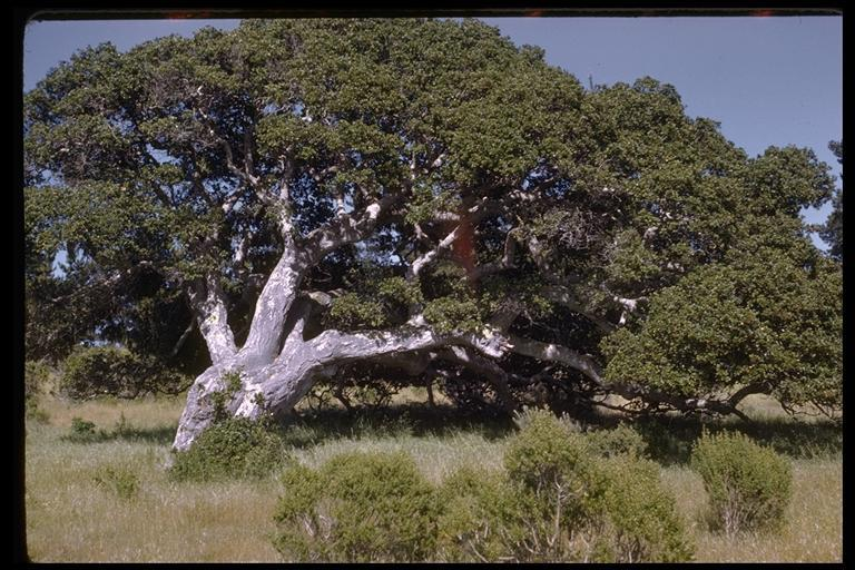 Image of California Live Oak