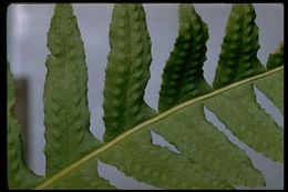 Image of California polypody