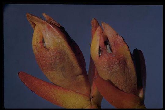 Image of hottentot fig