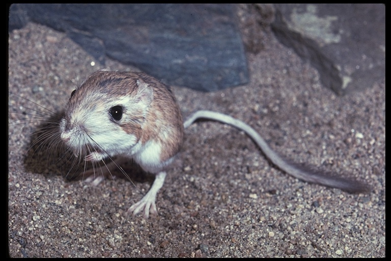 Image of Desert Kangaroo Rat