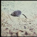 Image of American Water Shrew