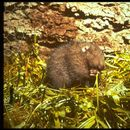 Image of Mountain Beaver
