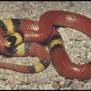 Image of Filetail Ground Snake