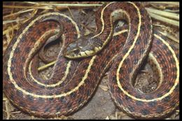 Image of Northwestern Garter Snake