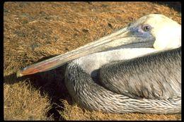 Image of <i>Pelecanus occidentalis californicus</i> Ridgway 1884