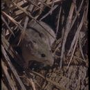 Image of Desert Woodrat
