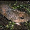 Image of Mountain Pocket Gopher