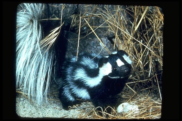 Image of Western Spotted Skunk
