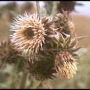 Image of fountain thistle