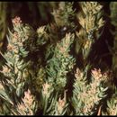 Image of Pursh seepweed