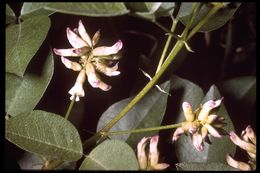 Image of forest scurfpea
