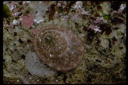 Image of file limpet