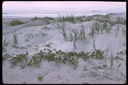 Image of coastal sand verbena