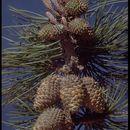 Image of Bishop pine