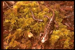 Image of California Giant Salamander
