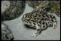Image of Yosemite toad