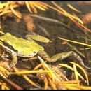 Image of Pacific Chorus Frog
