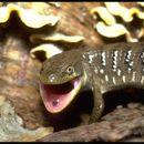 Image of anguid lizards