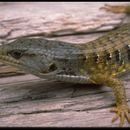 Image of Northern Alligator Lizard