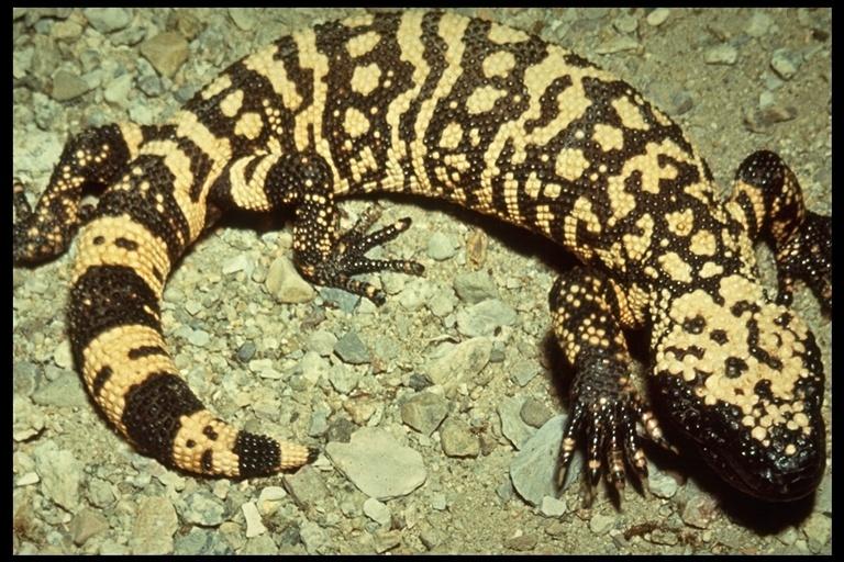 Image of Gila Monster
