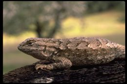 Image of Northwestern Fence Lizard