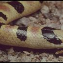 Image of Shovel-nosed Snakes