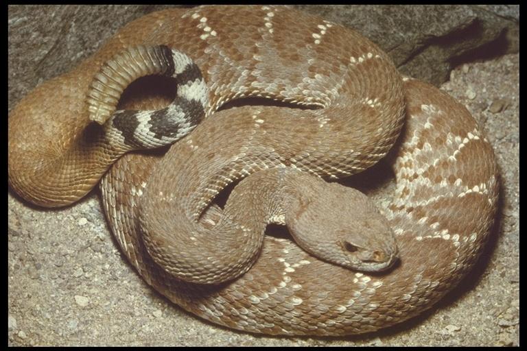 Image of <i>Crotalus <i>ruber</i></i> ruber Cope 1892