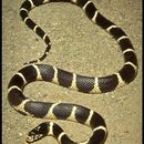 Image of Kingsnakes