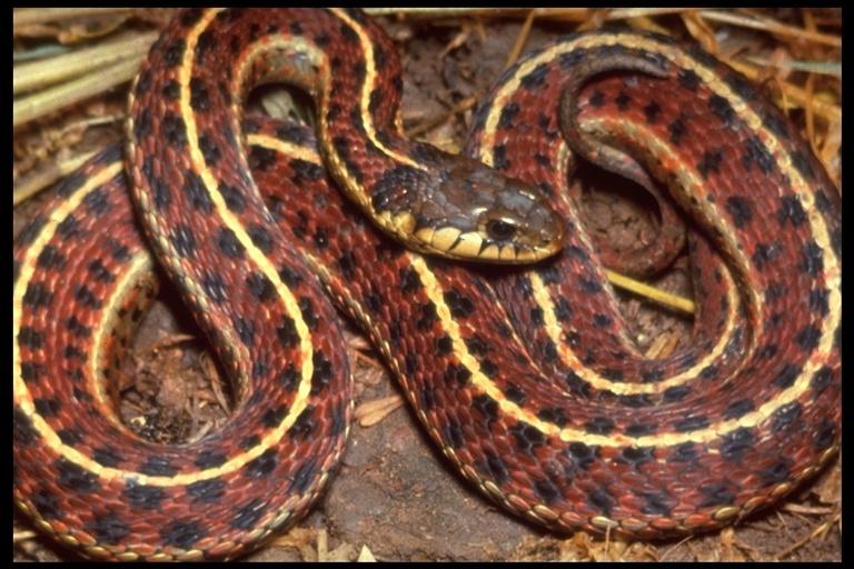 Image of <i>Thamnophis elegans terrestris</i> Fox 1951