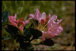 Image of Pacific rhododendron