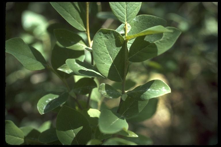 Image of western leatherwood