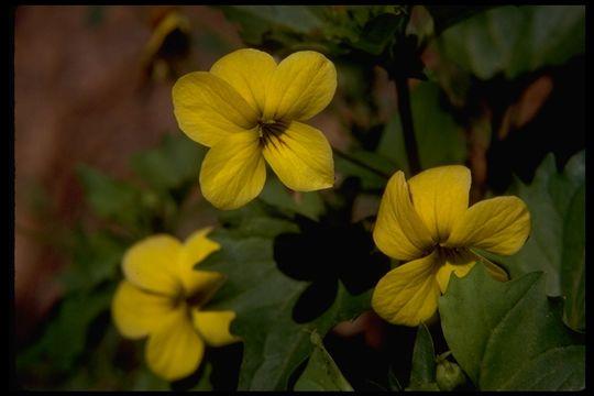 Image of <i>Viola bakeri</i> Greene
