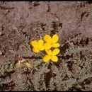 Image of tansyleaf evening primrose