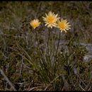 Image of marsh silverpuffs