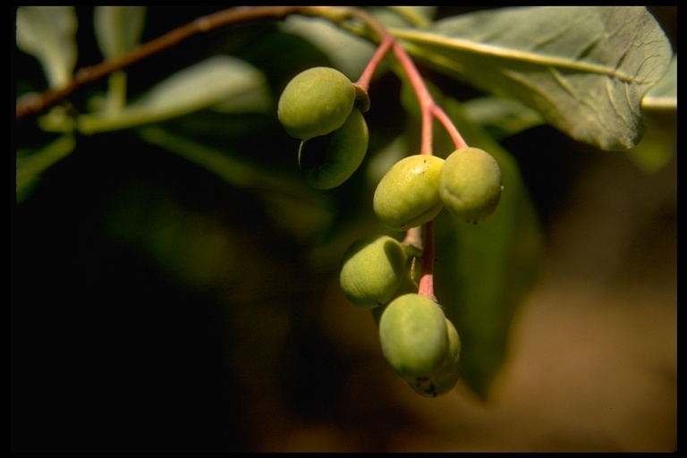 Image of Indian plum