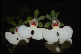 Image of <i>Oeonia rosea</i> Ridl.
