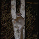 Image of white-footed sportive lemur