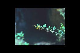 Image of <i>Acmispon nevadensis</i> (S. Watson) Brouillet