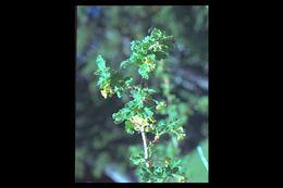 Image of desert gooseberry