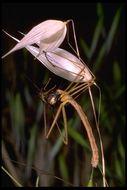 Image of <i>Apterobittacus apterus</i> (Mac Lachlan 1871)