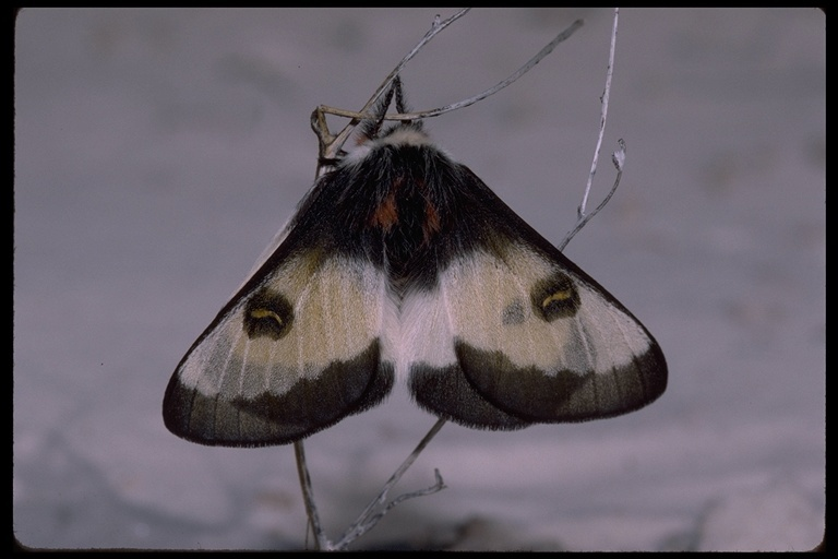 Image of Nevada Buckmoth